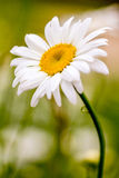 Oxeye Daisies Growing in Meadow Royalty Free Stock Photo