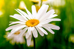 Oxeye Daisies Growing in Meadow Stock Photography