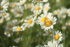 Oxeye daisies Royalty Free Stock Photography