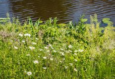 Oxeye daisies on the waterfront Royalty Free Stock Image