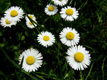 Oxeye daisy. Picture of Oxeye daisy (Leucanthemum vulgare Stock Photo