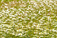 Oxeye Daisy Royalty Free Stock Photography
