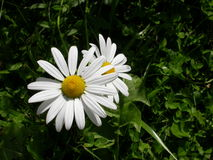 Oxeye daisy. Two oxeye daisies in early summer royalty free stock photos