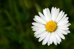 Oxeye daisy Royalty Free Stock Image