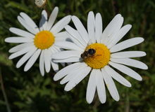 Oxeye Daisy flowers with Bumble Bee Royalty Free Stock Photography