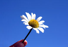 Oxeye daisy on clear blue Royalty Free Stock Photo