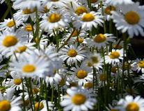 Oxeye daisy field Royalty Free Stock Photography