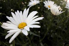 Oxeye daisy. Flower, focus. stock image