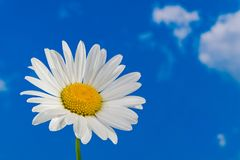 Oxeye daisy flower head. Marguerite detail. Leucanthemum. Argyranthemum. Delicate white bloom on sunny blue sky. Artistic optimistic background. Beautiful stock photos
