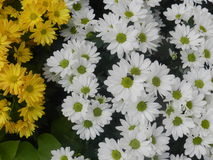 Oxeye daisy flower White and Yellow Royalty Free Stock Photo