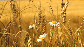 Oxeye daisy flowers and ears of wheat Stock Image