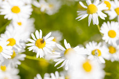 Oxeye Daisy with Fly Stock Images