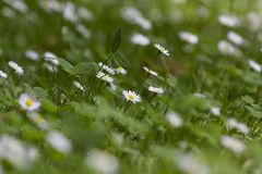 Daisy flowers in the garden. Oxeye daisy in the garden Stock Images