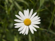 Oxeye daisy Stock Photos