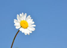 Oxeye daisy (Leucanthemum vulgare) Stock Photography