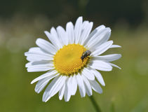 Oxeye daisy (Leucanthemum vulgare) flower Stock Photography