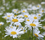 Oxeye daisy (Leucanthemum vulgare) Stock Photo