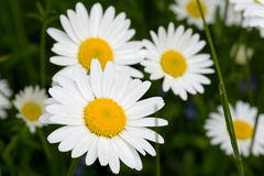 Oxeye daisy Stock Images