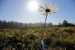 Oxeye Daisy. (Leucanthemum vulgare) reaching for the sun Stock Photography