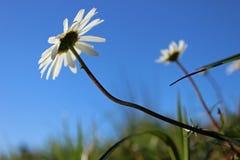 Oxeye Daisy. (Leucanthemum vulgare) reaching for the sun Stock Image