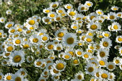 Oxeye daisy Stock Image