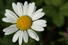 Oxeye daisy Stock Photography