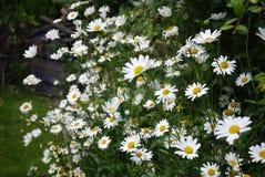 Oxeye daisy mass of flowers in garden UK near hedge Stock Photos