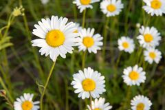 Oxeye Daisy in Ontario Canada in the Summer royalty free stock photos