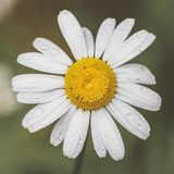 Oxeye daisy. Flower covered in water drops Royalty Free Stock Images
