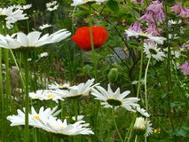 Oxeye Daisy and Poppy flowers Stock Images