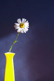 Oxeye Daisy In Vase Royalty Free Stock Photography