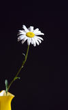 Oxeye Daisy In Vase Royalty Free Stock Photos