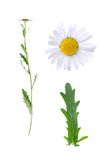 Oxeye and details. Leucanthemum vulgare and details of bloom and leaf isolated on white background Stock Photography