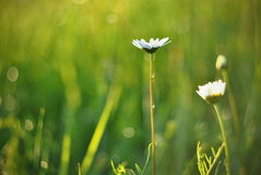 Oxeye flowers background. Typical meadow flower blossom close up Stock Photography