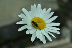 Oxeye leucanthemum μαργαριτών vulgare Στοκ Φωτογραφίες