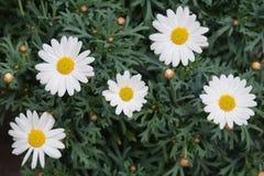 Oxeye stokrotki kwiaty Obraz Stock