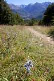Oxford blue thistle in the middle of the field in Pyrenees. Spain Royalty Free Stock Photos