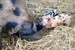 2 Oxford e Sandy Black Piglets che si alimentano con la madre Fotografie Stock Libere da Diritti