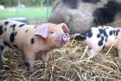 2 Oxford et Sandy Black Piglets Photographie stock libre de droits