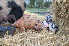 Oxford et Sandy Black Piglets photographie stock libre de droits