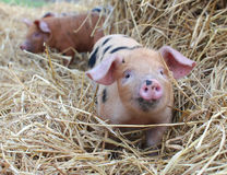 Oxford et Sandy Black Piglets en paille image stock