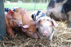 3 Oxford och Sandy Black Piglets royaltyfria bilder