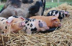 Oxford och Sandy Black Piglets royaltyfri fotografi