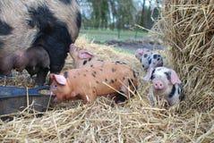 Oxford och Sandy Black Piglets och modersvin Arkivfoto