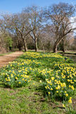 OXFORD, OXFORDSHIRE/UK - 25 DE MARZO: Narcisos en la floración a lo largo del Imagenes de archivo