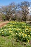 OXFORD, OXFORDSHIRE/UK - MARZEC 25: Daffodils w kwiacie wzdłuż Obrazy Stock