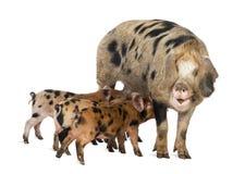 Oxford sandiga och svart piglets, 9 gammala veckor Royaltyfri Foto
