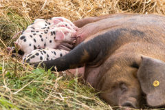 Oxford Sandy and Black litter of piglets suckling Royalty Free Stock Image
