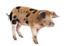Oxford Sandy and Black piglet, 9 weeks old Stock Images