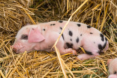 Oxford Sandy and Black piglet asleep Royalty Free Stock Image